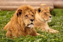 אריות ספארי רמת גן